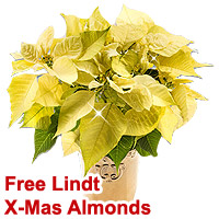 Exotic Gift of Cream Colored Poinsettia N Lindt X-Mas Almonds