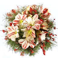 Modern Assemble of Amaryllis with Fir Green and Red Berries