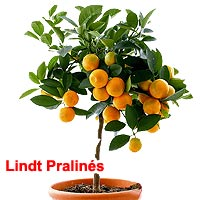 Orange Tree in Pot with Lindt Pralin�s